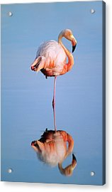 Greater Flamingo Phoenicopterus Ruber Acrylic Print by Wayne Lynch