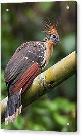 Hoatzin, Amazon Rainforest Acrylic Print by Ken Archer
