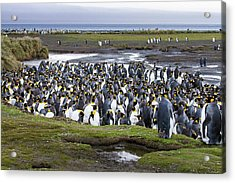 King Penguin Rookery At Salisbury Plain Acrylic Print by Tom Norring