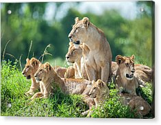 Lioness With Cubs In The Green Plains Acrylic Print by Guenterguni