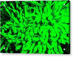 Natural Occurring Fluorescence Emitted Acrylic Print by Stuart Westmorland