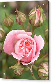 Pink Rose, International Rose Test Acrylic Print by William Sutton