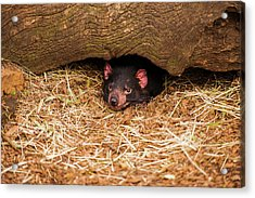 Acrylic Print featuring the photograph Tasmanian Devil In Hobart, Tasmania. by Rob D