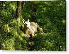 20/06/14  Keswick. Lamb In The Woods. Acrylic Print