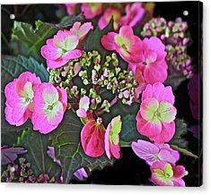 2019 June At The Gardens Tuff Stuff Hydrangea Acrylic Print