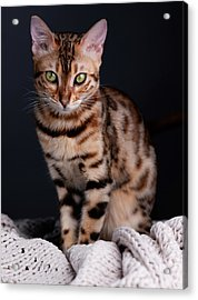 Bengal Cat Portrait Acrylic Print
