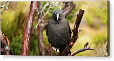 Acrylic Print featuring the photograph Black Currawong Resting On A Tree Branch by Rob D