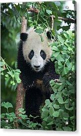 China, Sichuan Province, Chengdu Acrylic Print by Ellen Goff