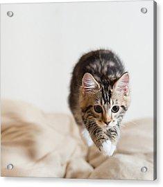 Jumping Kitten Acrylic Print by Ryuichi Miyazaki