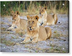 Acrylic Print featuring the photograph 3 Lions by John Rodrigues
