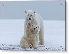 Polar Bear Acrylic Print by Sylvain Cordier