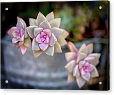 Acrylic Print featuring the photograph 3 Succulents by John Rodrigues