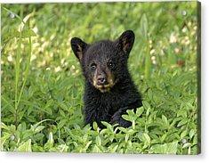 Young Black Bear Cub, Ursus Americanus Acrylic Print by Adam Jones