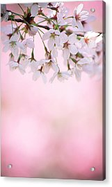 Cherry Blossoms Acrylic Print by Ooyoo