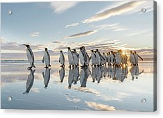 King Penguin On The Falkland Islands Acrylic Print by Martin Zwick