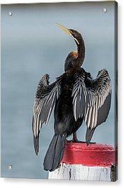 Australasian Darter Acrylic Print