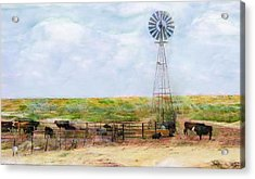 Classic Cattle  Acrylic Print