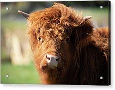 Highland Cow On The Farm Acrylic Print