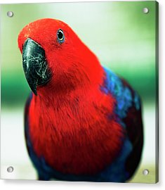Acrylic Print featuring the photograph Crimson Rosella by Rob D
