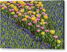 Tulips, Skagit Valley Tulip Festival Acrylic Print by Adam Jones