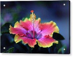 Hibiscus Delight Acrylic Print