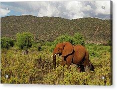 African Elephant Loxodonta Africana Acrylic Print by Ariadne Van Zandbergen