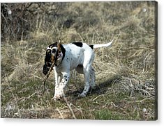 English Setter Puppy, 14 Weeks Acrylic Print by William Mullins