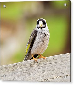 Acrylic Print featuring the photograph Noisy Miner Bird By Itself by Rob D