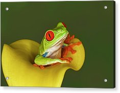Red-eyed Tree Frog Acrylic Print by Adam Jones