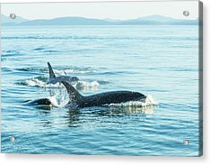 Surfacing Resident Orca Whales Acrylic Print by Stuart Westmorland