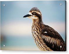 Acrylic Print featuring the photograph Bush Stone-curlew Resting On The Beach. by Rob D