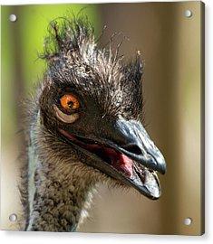 Australian Emu Outdoors Acrylic Print