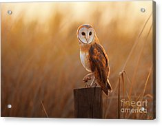 A Beautiful Barn Owl Perched On A Tree Acrylic Print