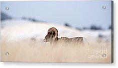 A Big Horn Sheep Ram Walking From The Acrylic Print