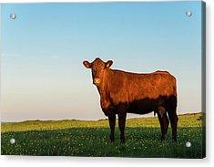 A Brown Cow On A Summer Evening Acrylic Print by Photos By R A Kearton