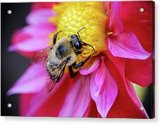 A Bumblebee On A Flower Acrylic Print