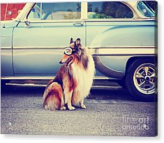 A Collie Posing For The Camera In Front Acrylic Print