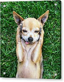A Cute Chihuahua With His Paws On His Acrylic Print