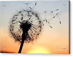 A Dandelion Blowing Seeds In The Wind Acrylic Print