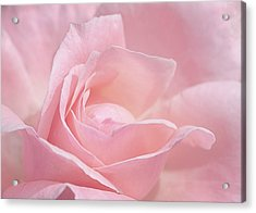 A Delicate Pink Rose Acrylic Print
