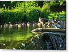 A Gaggle Of Geese Acrylic Print