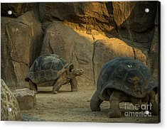 A Giant Galapagos Turtles On A Walk Acrylic Print