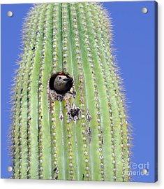 A Gila Woodpecker Sticking Its Head Out Acrylic Print