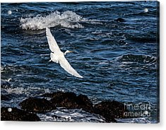 A Great Egret Soars Over Waves Acrylic Print