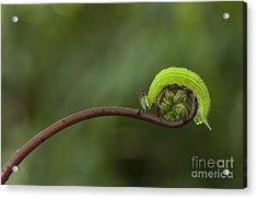 A Green Caterpillar Walked On A Fern Acrylic Print by Robby Fakhriannur