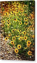 A Group Of Bossoming Black-eyed Susans Acrylic Print by Maria Mosolova