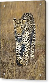 A Leopard Walking Through Grass Acrylic Print by Sean Russell