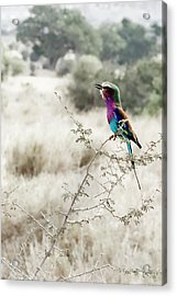A Lilac Breasted Roller Sings, Desaturated Acrylic Print