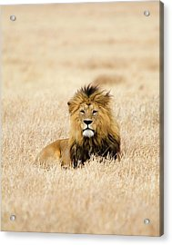 A Lion Acrylic Print by Sean Russell