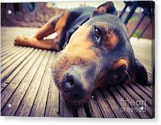 A Mixed Breed Dog Dozing On Wooden Deck Acrylic Print